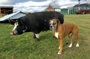 amber-the-boxer-thelma-the-pig